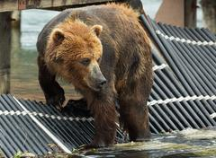 Brown bear waiting prey on fence to account for fish. Kurile Lake Stock Photos