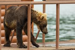 Young brown bear looks prey on fence to account for fish. Kurile Lake Stock Photos