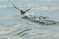 Tufted puffin scatter on water for take-off Stock Photos