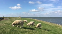 Sheeps eating grass on a dike in Hindeloopen Stock Footage