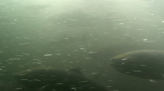 Salmon Pass Through Fishladder, Fish Ladder Stock Footage