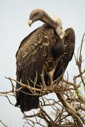 Vulture standing tall on a tree Stock Photos