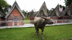 Buffalo near traditional batak houses on the Samosir island, Indonesia Stock Footage
