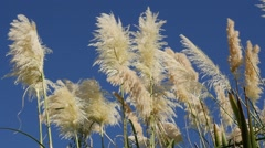 Relaxing zen scene pampa grass inflorescences against blue sky slow motion 19 Stock Footage
