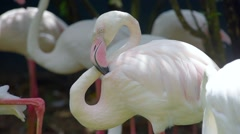 Pink Flamingo (Phoenicopterus ruber) is a beautiful wading bird Stock Footage