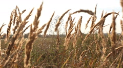 Rural landscape - dry grass in a meadow. Stock Footage