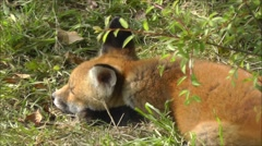 Close up of fox cub in a meadow Stock Footage