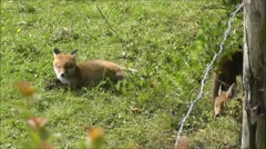 Fox cubs relaxing and playing outside their den Stock Footage