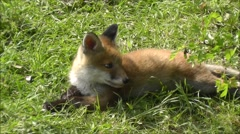 Fox cub relaxing in a meadow. Stock Footage