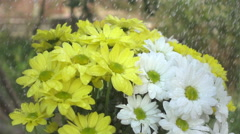 White and yellow daisy flowers in the rain. Slow motion shot Stock Footage