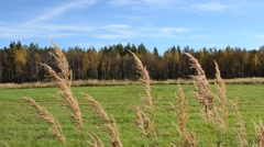 Beautiful brown straws in autumn breeze with vibrant green field, forest and sky Stock Footage
