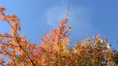 Majestic and colorful rowan tree in autumn with clear blue sky backdrop Stock Footage