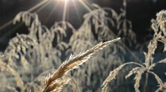 Frost covered brown straws in autumn sunshine in the early morning  Stock Footage