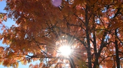 Colorful rowan tree leaves in autumn breeze with strong sunshine shining through Stock Footage