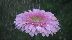Pink daisy gerbera flower under the rain. Slow motion Stock Footage