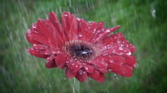 Droplet on a red gerbera flower petal while raining Stock Footage