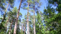 Tall coniferous trees on Valaam Island in Northern Russia Stock Footage