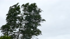 Birch tree in strong wind storm Stock Footage