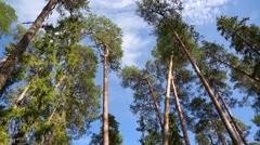 Panorama tops of tall coniferous trees on Valaam Island, Russia Stock Footage