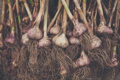 Organic garlic gathered at ecological farm on rustic wood Stock Photos