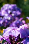 Bright Hydrangea Flowers Stock Photos