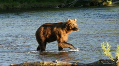 Brown bear fishing in Dvukhyurtochnoye river Kamchatka Stock Footage