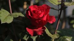 Beautiful dark red rose in garden, closeup Stock Footage