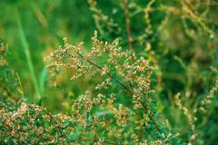 Ragweed or ambrosia plant, its pollen is notorious for causing allergic react Stock Photos