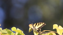 Swallowtail butterfly on vine with copy space Stock Footage