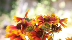 Gaillardia flowers with copy space Stock Footage