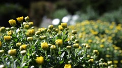Yellow chrysanthemum  in the garden Stock Footage