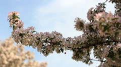 Cherry blossoms. Spring mood - a blooming garden on a sunny day. Stock Footage