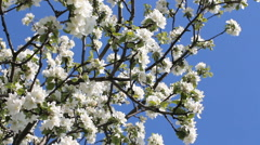 Flowering tree in a sunny garden. Spring garden, blooming apple tree. Stock Footage