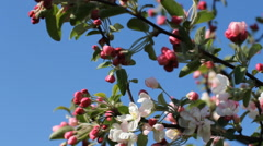 Bright white and pink buds and flowers on the tree against the bright blue sky. Stock Footage