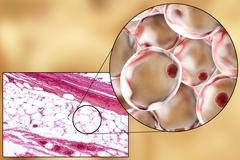 Fat cells, micrograph and 3D illustration Stock Illustration