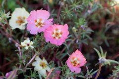 Pink portulaca grandiflora Stock Photos