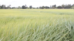 Rice fresh green in paddy field with stalks swaying in the wind Stock Footage