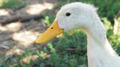 White Peking Ducks stay resting in their habitat head shot Stock Footage