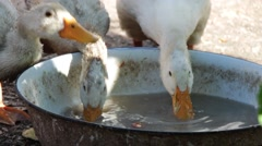 White ducks drinking water from a steel basin (close up) Stock Footage