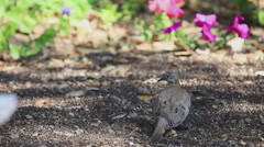 Mourning doves feeding on nyger seed Stock Footage