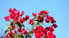 Swallowtail butterfly with bougainvillea Stock Footage