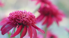 Double Scoop Cranberry coneflower closeup Stock Footage