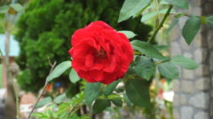 Wild red rose on branch in garden Stock Footage
