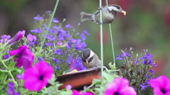 Fledgling chickadees taking large bites of food Stock Footage