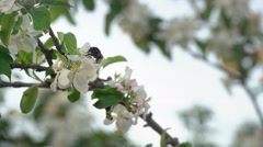 A Bumblebee Pollinating The Cherry Tree Flowers Stock Footage
