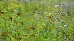 Beautiful meadow with tansy, Russia Stock Footage