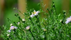 Asters are multiyear during summer rain Stock Footage