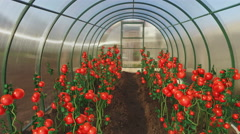 Tomatoes growth in the greenhouse Stock Footage