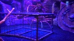 Japanese Spider crabs in aquarium Stock Footage