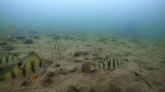 Underwater Perch Fishing Stock Footage